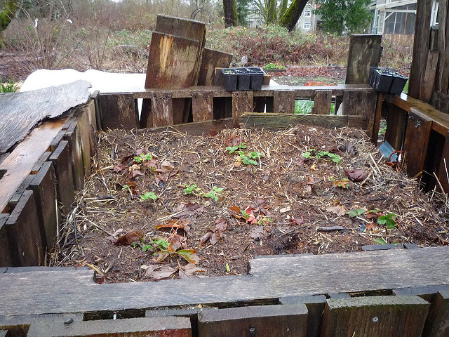 compost planted with strawberries